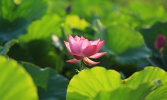 IMG_6678 (陸山宗芳) Tags: 荷花 taiwan 台灣 2016 植物 景深 花 戶外 安詳