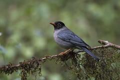 Eurasian blackbird - Ganeshgudi (Santhosh LV) Tags: flickr estrellas eurasian blackbird ganeshgudi