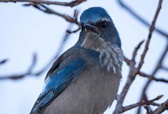 Jay (KWinters Photography Colorado) Tags: jay scrubjay nature colorado flickr flickrnature nikon nikondsl sigma closeup nikondigital blue feathers vogel natur nahaufnahme d7200