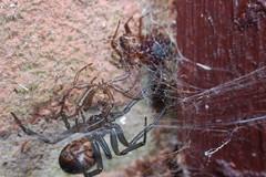 Widow Web Share (Procrustes2007) Tags: uk england spider suffolk britain wildlife arachnid flash nikond50 sudbury closeuplens wildlifephotography falsewidow steatodanobilis d50nocturnalspiders afsnikkor1855eddx gridreftl883407