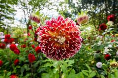 Colorful (rene.sprotte) Tags: flower germany hansapark
