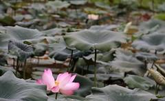 IMG_0450 (singaporeplantslover) Tags: nymphaea   lotus