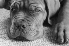 See this paw? (Martin Werge Nissen) Tags: bw fall dof indoor maximus canon50mm18 doguedebordeaux