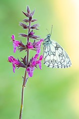 Meadow of dreams... (Zbyszek Walkiewicz) Tags: butterflies butterfly sony sunrise macro 900mm morning tamron magicmomentsinyourlifelevel4 coth5