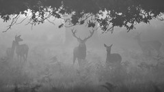 Ghosts of the Forest (PeterBrooksPhotography) Tags: uk autumn trees blackandwhite sun mist london forest season mammal morninglight early nikon stag wildlife ghost deer habitat reddeer richmondpark highiso cervuselaphus peterbrooksphotography ©peterbrooks