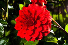 Macro-24695.jpg (CitizenOfSeoul) Tags: flower macro germany deutschland blumen garten dahlien sersheim