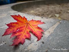 clatante (pawae) Tags: automne saison vgtaux feuillage feuilledautomne