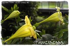 Solandra maxima 'Golden Chalice Vine' (farmer dodds) Tags: mexico royalbotanicgardenedinburgh entheogen solanaceae solandra solandramaxima ethnobotanical goldenchalicevine solandramaximagoldenchalicevine