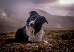 45/52 'Hiya all from a hill somewhere in Scotland' (JJFET) Tags: dog mountain dogs for scotland collie paddy sheepdog border 45 weeks 52