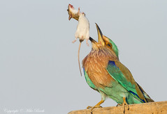 Indian roller (Coracias benghalensis) (www.mikebarthphotography.com 2M Views thanks !) Tags: ngc uae coraciasbenghalensis