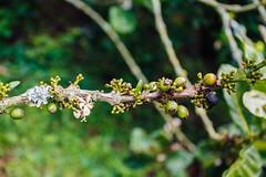Siembre y recoleccin de Caf (Medelln Ciudad Inteligente) Tags: verde coffee caf colombia fredonia antioquia colombiano siembra pergamino recoleccin cafverde cafespecial mdeciudadinteligente