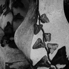 Ivy (Spannarama) Tags: blackandwhite square ivy pillars entwined ballustrade trailing