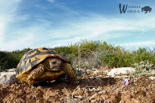 Italienische Landschildkröte ♂ (Testudo hermanni hermanni) - Explore November 24th, 2015, # 149