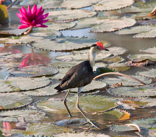Comb-Crested Jacana (Irediparra gallinacea) (adult) (25 centimetres)