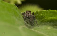Jumping Spider (Atul Vartak) Tags: retreat jumper carrhotus salticide