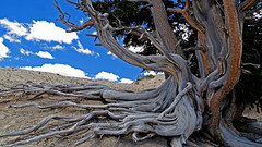 Bristlecone Pine (upsa-daisy) Tags: