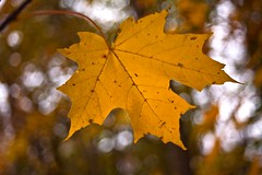 Autumn Leaf Portrait (Lojones13) Tags: yellow gold bokeh mapleleaf autumncolor