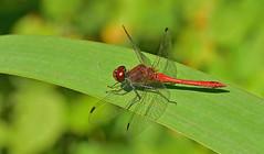 Blutrote Heidelibelle, Sympetrum sanguineum (staretschek) Tags: mnnchen heidelibelle sympetrumsanguineum blutroteheidelibelle segellibelle rotelibelle groslibelle