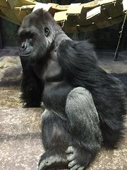 (gobucks2) Tags: zoo wildlife monkeys gorillas 2015 louisvillezoo november2015 louisvillekentuckyzoo fall2015
