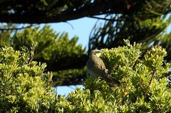 a songster in the bush (Lesley A Butler) Tags: coast wildlife australia victoria vegetation portfairy