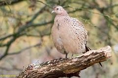 Photo of Pheasant