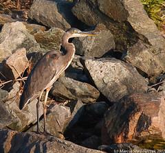 Heron Camouflage (v4vodka) Tags: bird heron nature animal birding egret birdwatching greatblueheron ardeaherodias wader czapla czaplamodra czapl