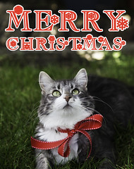 Merry Christmas! (Molly Voigt) Tags: christmas red summer holiday cute green grass cat canon outside snowflakes eyes kitten relaxing kitty australia victoria ribbon lounging merry amused merrychristmas daft 6d entertained summerchristmas 2470 canon6d illassa mollyvoigt littlevegemite