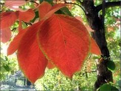 (Tlgyesi Kata) Tags: autumn leaf budapest persimon botanicalgarden hurma japanesepersimmon fvszkert diospyroskaki botanikuskert kakipersimmon withcanonpowershota620 asianpersimmon datolyaszilva kakiszilva kk