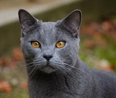 Portrait of a cat - Goldeneye (Max Sat) Tags: automne autumn cat chartreux chat doré france fuji fujixe1 fujinon gold grey gris maxsat maxwellsaturnin xf60 unexplored