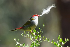 Red-browed Finch_0648E (Neil H Mansfield) Tags: red nature feather australia victoria finch fascinator redbrowedfinch neochmiatemporalis waurnponds
