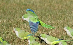 Monk Parakeet (kidbirder) Tags: