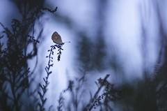 Le pays des fes (Elments du temps) Tags: papillons insectes macro 90mm tamron proxy bleu france bokeh bruyre sombre soir nature nikon nikond7000 couleurs