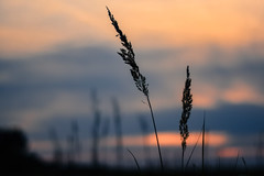 Less is more (marionrosengarten) Tags: ried gras reed nature grass sundown sunset sky clouds nikon colours home field evening sonnenuntergang 50mmf18 muted simplicity minimalism less