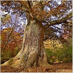 Mchtiger Stamm (Gerald Paetzer) Tags: wald urwald baum stamm baumstamm herbst reinhardswald bume rinde hessen natur nature