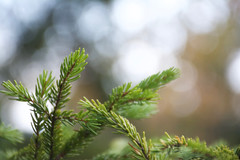 spruce (danbruell) Tags: monongahela wv westvirgina forest spruce bokeh fall macro danbruell