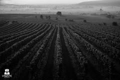 Colorblind (SYNAPSTIC photography) Tags: weingarten blackwhite nikon d750 fx austria sterreich vineyards sunrise haze dust fields