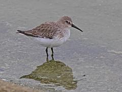 Dunlin (drbut) Tags: dunlin calidrisalpina sandpipersandallies scolopacidae wader seashore wetland nature wildlife outdoor bird birds