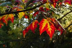 Autumn in the Mustila arboretum (Elimki, Kouvola, 20161002) (RainoL) Tags: 2016 201601002 201610 acer arboretum autumn fin finland foliage fz200 geo:lat=6073034588 geo:lon=2641189907 geotagged kouvola kymenlaakso leaf maple mustila mustilaarboretum october plants sapindaceae tree elimki