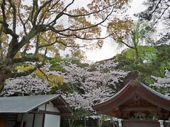 Kamakura | Kotokuin (Toni Kaarttinen) Tags: japan  japonia    jap japonsko jaapan  japani japon xapn    japn jepang an tseapin giappone  japna japonija  japo  japonska japn hapon  japonya nht bn japanese kamakura formercapital hanami sakura cherryblossom cherryblossoms cherries temple shrine zen garden kotokuin