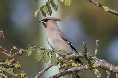 (142) Bird - Waxwing - Rectory Lane, Carlton Colville