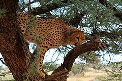 Cheetah (joshua_v95) Tags: naan ku s cheetah mark tree scatter africa namib