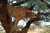 Cheetah (joshua_v95) Tags: naan ku sê cheetah mark tree scatter africa namib
