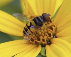 Transverse Flower Fly (milesizz) Tags: transverseflowerfly diptera milwaukee wisconsin wi eristalis eoseristalis eristalistransversa eristalini aschiza syrphidae syrphidflies eristalinae