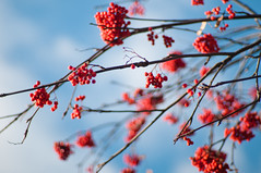 (PblCb) Tags: saintpetersburg nikon 50mm f14 nikkor d300s dof bokeh nature berries brightcolor color autumn