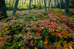 The undergrowth (agasfer) Tags: 2016 northcarolina panthertownvalley appalachia hiking autumn colors foliage pentax k3 sigma1020 topaz restyle