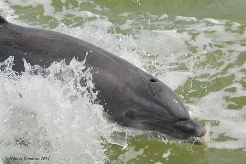Bottlenose dolphin/Marsouin à gros nez-Flamingo,Everglades,FL