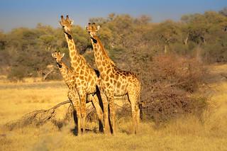 Giraffe Trio, Moremi Game Reserve, Botswana