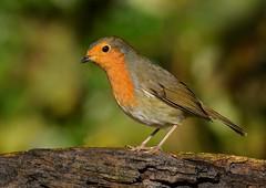 Robin (George Findlay) Tags: robin ayrshire bird nikon rozelle