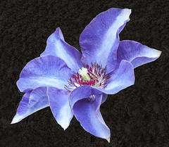 Clematis (Roniyo888) Tags: violet purple blue clematis flower climber plant black background closeup