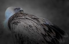 Gnsegeier (Sakerfalke) Tags: sakerfalkefotografie gnsegeier birds outdoor geier